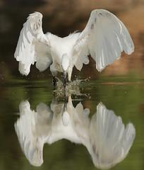 Garceta Egretta garzetta. La reinona de la charca I (Agustín Povedano) Tags: specanimal wingedwonders alittlebeauty imagicland coth5 birdperfect