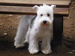 ピナ氏 Pinashi (buchigire) Tags: dog chien dogs japan miniature schnauzer mini chienne 犬 chiot petit coolpixs9300 ピナ氏 pinashi