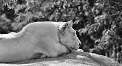In the Jungle... (IV) (MorboKat) Tags: africa toronto cat zoo blackwhite lion bigcat carnivore torontozoo whitelion