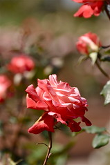 A Day in a Rose Garden [Explored] (The Spirit of the World) Tags: california flower nature rose garden spring flora sandiego rosegarden balboapark thegalaxy queenrose awesomeblossoms