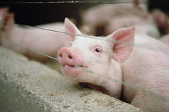here an oink, there an oink (manyfires) Tags: pink cute film animal analog 35mm pig bokeh iowa nikonf100 piglet oink porcine animalscape