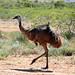 Os pernudos emus
