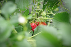(__AK__) Tags: red summer green fruit garden rouge strawberry jardin vert t fraise feuille kitchengarden potager