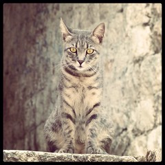Cat in Dubrovnik (gcr89) Tags: old animal yellow cat eyes croatia dubrovnik striped balkan