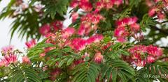 Mon feu d'artifice à moi... (Régis B 31) Tags: albizia fleur jardin hautegaronne albiziajulibrissin explore