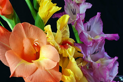 Gladiolas_059 (Nikon Guy 56) Tags: gladiolas flower nature nikon d60 thebestofmimamorsgroups