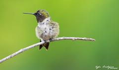 Ruby-throated Hummingbird (Kyle Dudgeon Photography) Tags: birds birding birdingworld birdsoftheworld birdwatcher canon eos telephoto 60d wildlife lens ngc nature nj nwr northeast