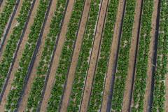 Strawberry Fields Forever (Wind Watcher) Tags: kap windwatcher kite dopero fog strawberry california kapica2016 fields farm