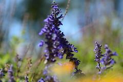 DSC_1583a (Fransois) Tags: dof flowers t summer abstrait abstraction couleurs colors