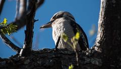 Australian Kookaburra (Merrillie) Tags: athome nsw woywoy australia wildlife centralcoastnsw d5500 nature photography birds nswcentralcoast animals kookaburra centralcoast newsouthwales nikon
