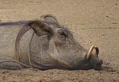 Time for a snooze (dramadiva1) Tags: marwell zoo warthog sleepy snooze tusks