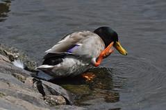 Itchy (Latimer's Paradox) Tags: birds wildfowl hillsboroughlake ducks mallardducks anatidae anasplatyrhynchos