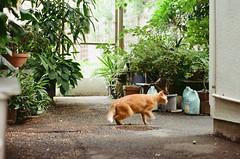 462GO2016/6/25 (Natsuki_y) Tags: film filmphotography kodak iso200 cats cat canon straycat snap tokyo eos1n 85mm