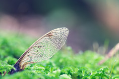 Lunge Ahorns (c_hancke) Tags: blumenundpflanzen makro ahorn flower ground leaves macro morning natur nature spring wald waldboden wood