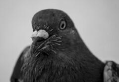 Csrfkusz (zsolesz_93) Tags: galamb pigeon kzeli nikond3200 nikkor1855mm 55mm