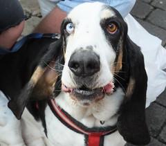 Benji (Moldovia) Tags: fujifilmfinepixhs50exr bridgecamera dog benji pedigree animal basset hushpuppy bassethound eyes ears greatbritain france pet outdoor