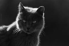 Bittersweet (Luis-Gaspar) Tags: animal cat gato streetcat gatoderua feline felino portrait face retrato outdoor beach praia nina mono monochrome monocromatico bw pb nikon d60 55300 f56 11000 iso400