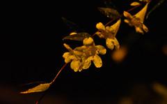 Golden Trumpet Vine (Merrillie) Tags: athome woywoy nikon flowers nature australia goldentrumpet d5500 nswcentralcoast newsouthwales goldentrumpetvine centralcoastnsw photography nsw centralcoast petals yellow waterdrops nighttime