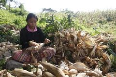 SBC_2015_31Aug_16 (susancorpuz90) Tags: zamboangadelsur cornharvest samal tukuran susancorpuz food foodsecurity