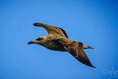 18092016DSC_1051.jpg (Ignacio Javier ( Nacho)) Tags: facebook gaviotas aves flickr pginafotografia faunayflora santander cantabria espaa es