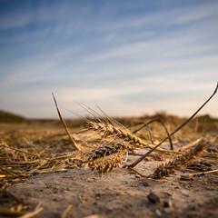 Flour ingredient... (Zeeyolq Photography) Tags: blé cereals champ farine field flour food france harvest moisson nature normandie orge wheat épautre hermanvillesurmer