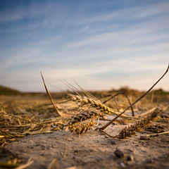 Flour ingredient... (Zeeyolq Photography) Tags: agricultures bl cereals champ farine field flour food france harvest moisson nature normandie orge wheat pautre hermanvillesurmer
