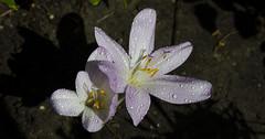 Zimowit (Nieogolony) Tags: przemysaw karpiski nieogolony nikon d5100 natura polacy polska plant flower kwiat kwiaty flowers rolina outdoor sun soce