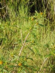 Nickender Zweizahn (Bidens cernua) in einem Wasserlauf im Colsrakmoor; Meggerdorf, Stapelholm (Chironius) Tags: meggerdorf stapelholm schleswigholstein deutschland germany allemagne alemania germania    ogie pomie szlezwigholsztyn niemcy pomienie asterids campanuliids asterales korbbltler asteraceae asteroideae moor sumpf marsh peat bog sump bottoms swamp pantano turbera marais tourbire marcageuse blte blossom flower fleur flor fiore blten