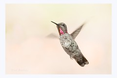 I think i just saw the Rufous maniac here and i cant take it (Krasne oci) Tags: bird birdinflight hummer hummingbird nature garden tiny smallbirds annashummingbird evabartos flying photographicart artphotography colibri hummingbirdinflight canon flickr