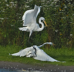 The Victor And The Vanquished (Vidterry) Tags: egrets greategrets cedarlake
