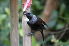 (Paul J's) Tags: wellington karori park ecosanctuary animal bird tui zealandia