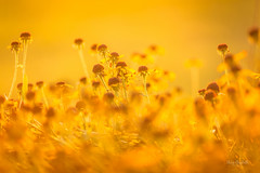 Glorious Gold (Elizabeth_211) Tags: bokeh flowers nature garden floral 135mm sunset warm