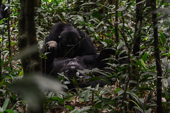 Grooming (supersky77) Tags: kibale kibalenationalpark chimp chimpanzee scimpanz pan troglodytes giungla jungle rainforest forestapluviale uganda africa