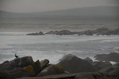 Cape cormorant (Phalacrocorax capensis) - www.paolomeroni.com (www.paolomeroni.com) Tags: capecormorant cormoranodelcapo phalacrocoraxcapensis southafrica sudafrica bird acquaticbirds ocean atlanticocean oceanoatlantico rocks coast beach wwwpaolomeronicom paolomeroni ngc nikonflickraward iucn wild wildlife wildlifephotography nature naturewatcher naturalworld naturaleza westcoastnationalpark