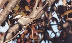 Birdwatching 20141022 (caligula1995) Tags: 2014 chickadee plumtree