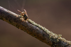 wasp on a branch (Bea Antoni) Tags: tamron canon makro macro nahaufnahme autumn herbst natur nature branch twig ast zweig insect insekt wasp wespe