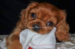 getting set for santa (Snapdragon Lincs) Tags: cavalier king charles spaniel puppy ruby dog pet cute sweet innocent santa hat
