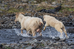 Help, help, we are being stalked by papparazzi! (Oleg S .) Tags: iceland animal river sheep water