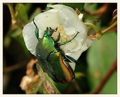 Green Fruit Beetle (gauchocat) Tags: tohonochulpark tucsonarizona