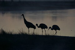 Sandhill Sunrise, family breakfast. (Wild Bill in MN) Tags: gruscanadensis sandhillcranes wildlife morning sunrise silhouette mist bird sony a77m2 sal70400g
