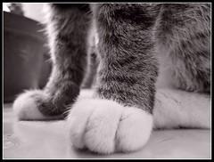 Patitas con guates blancos (MaPeV) Tags: morris bellolindoguapetn gatos cats chats kawaii felin neko gatti gattini gattoni tabby chat katze gato kitty tabbyspoted powershot canon g16 patitas paws