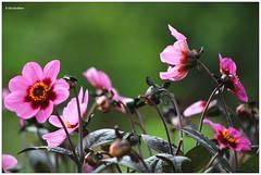 Late summer flowers (Eber&Mars) Tags: flowers summer colours garden utrecht botanicalgardensutrechtuniversity