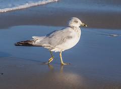Ring-billed Gull (Shannonsong) Tags: gull ringbilledgull bird aves beach shore ocean nj nature wildlife water springlake