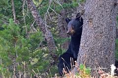 Black Bear (Yale Creek) Tags: blackbear black bear yellowstone