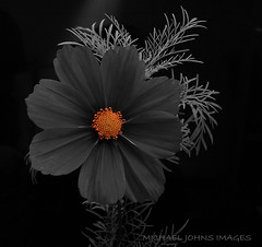 COSMOS (michaeljohnsimages) Tags: camera plant black colour art nature beautiful canon petals interesting flickr explore shade passion kildare monocrome blinkagain gettyimagesirelandq32012