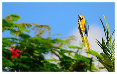 Welcome to the Tropics? (thedaner) Tags: life blue wild bird animal yellow gold nikon florida miami wildlife feathers parrot aves exotic macaw bg ara nonnative feral blueandgoldmacaw araararauna blueandgold blueandyellow ararauna blueandyellowmacaw psittacidae psittaciformes bgmacaw d7000