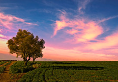 Field Tree (NatashaP) Tags: sky tree field clouds olivetrees