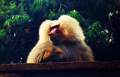 kabuki (osvaldoeaf) Tags: brazil portrait animals brasil fauna zoo kabuki goiânia goiás zooming moneky baboo specanimal
