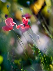 II (KathrinPreiss) Tags: flower wiese blume mohn