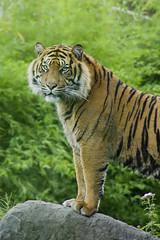 Blijdorp - Tiger (Celesta ♥) Tags: animals zoo blijdorp tijger dierentuin blijdorpzoo tijgers rotterdamzoo flickrbigcats zoorotterdam
